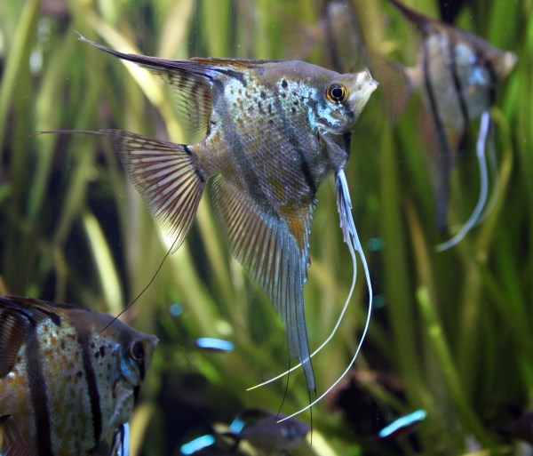 How To Manage Cichlid Aggression Coolfish Network