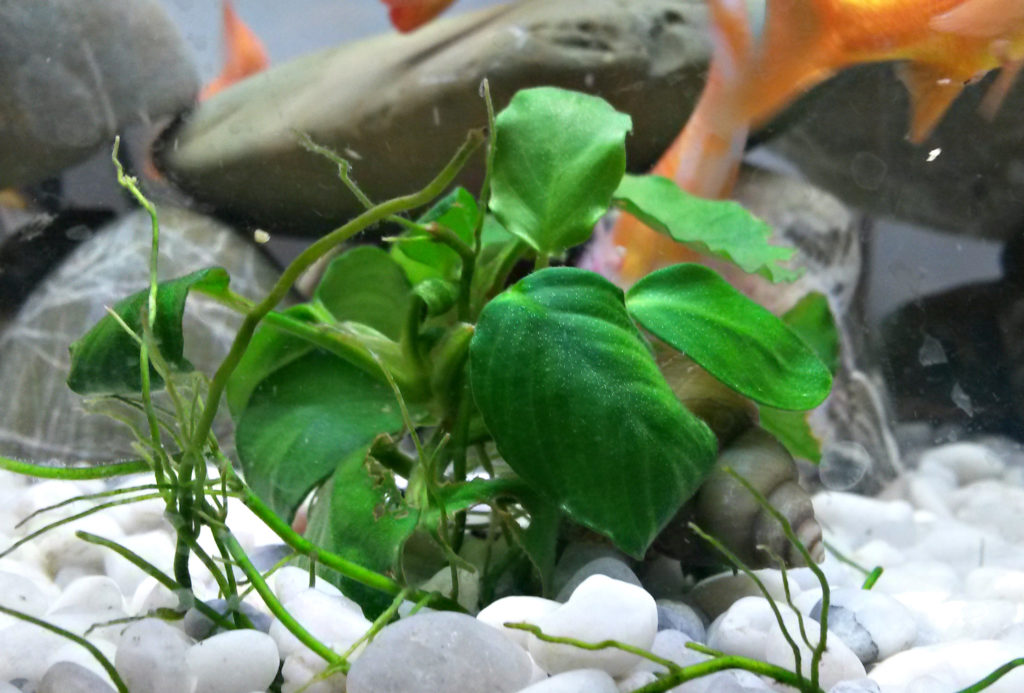 plants are an important element in aquascaping