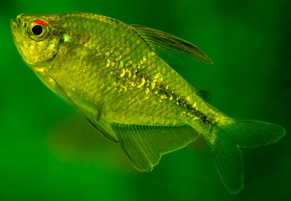 Top 5 Most Underrated Tetras Coolfish Network
