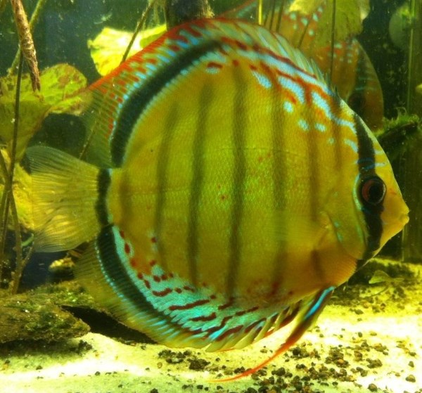 Discus like to spawn on upright surfaces