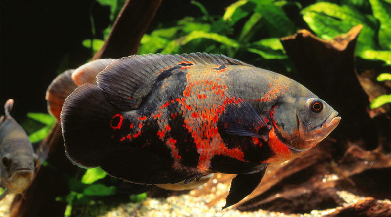 Messy fish like oscars suffer in overstocked aquariums