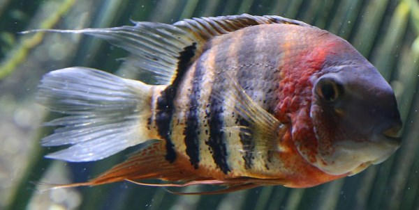 How To Manage Cichlid Aggression - coolfish network