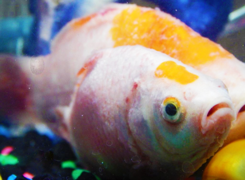 Sick feeder goldfish are bad for your oscar