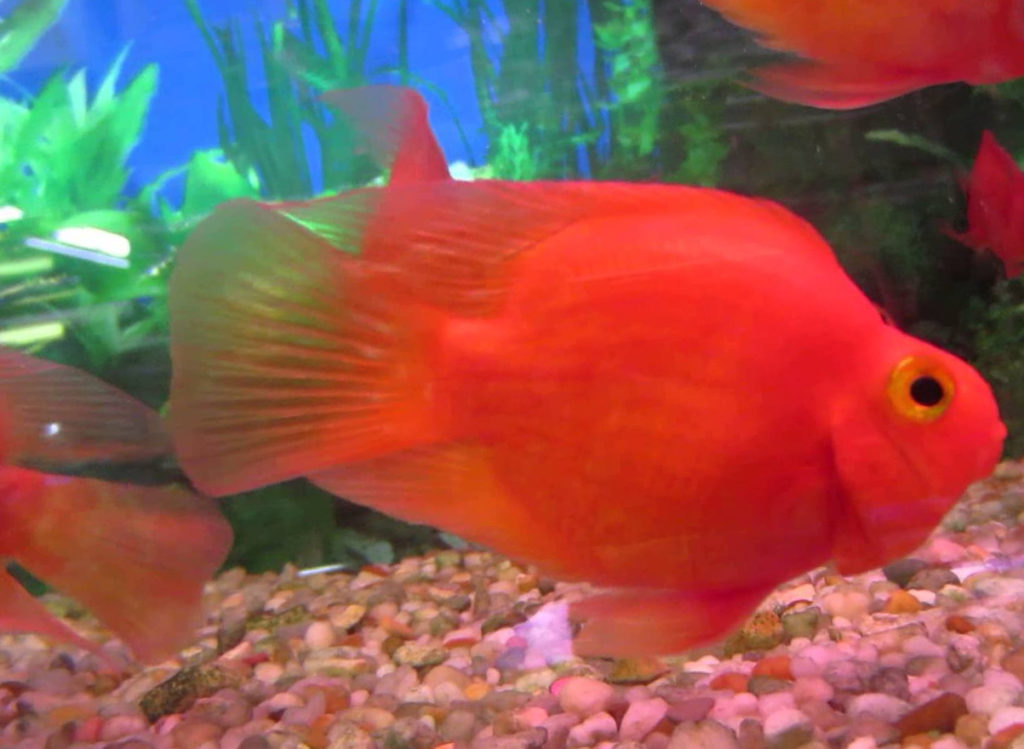 How To Breed Super Red Texas Cichlids - coolfish network