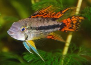 Species from the apistogramma genus, like this A. cacatuoides, can benefit from the addition of catappa leaves to their aquariums.