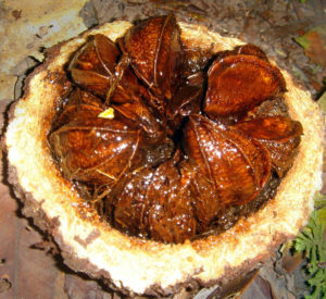 Use the outer brazil nut husk in your aquarium for aquascaping