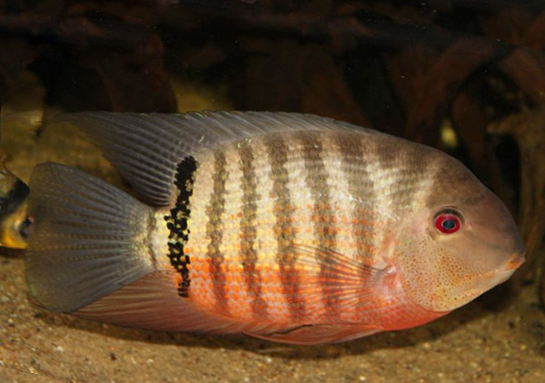 Severum with dark bars and red belly