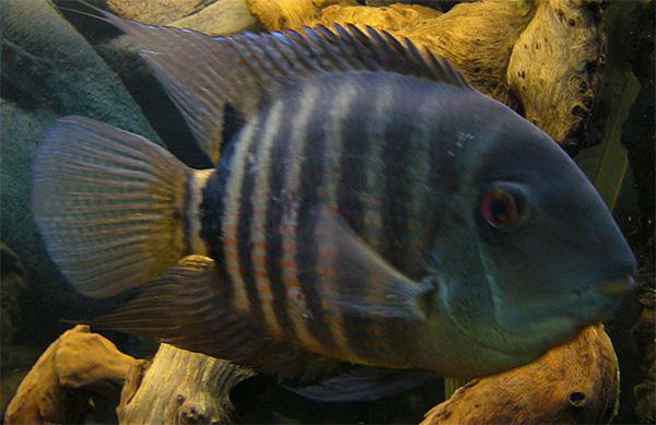 Severum darkens and shows bars when breeding