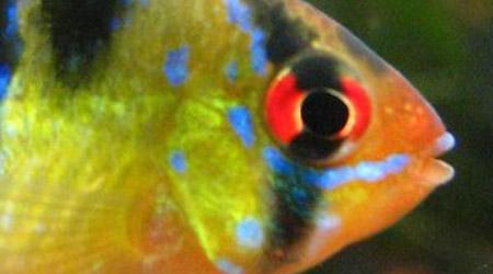 Close up of a German blue ram's face (Mikrogeophagus Ramirezi)