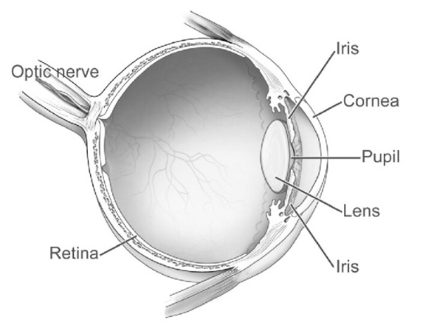 This is a diagram of a human eye.  While fish eyes are different from our own, in the important ways they are quite similar.