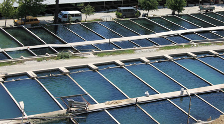 Ornamental fish farms raise thousands upon thousands of German blue rams