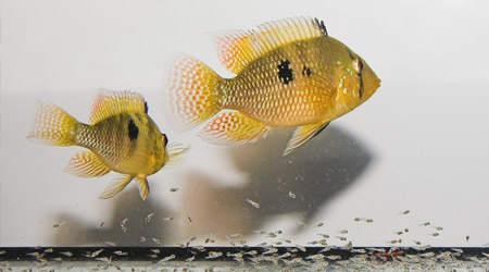 Cichlids with fry