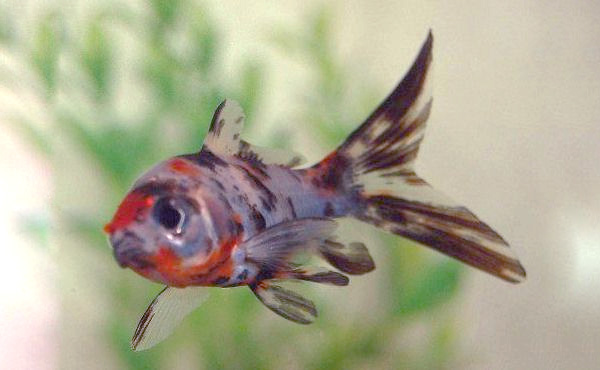 Shubunkin with partial black coloration over its eye