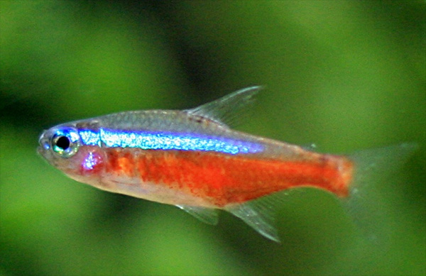 Cardinal tetras are the classic dither fish for discus tanks.