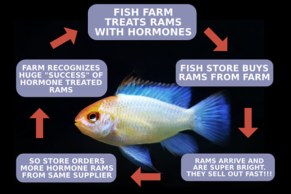 The self-perpetuating cycle that results in low quality, inbred, hormone treated, sickly German blue rams.