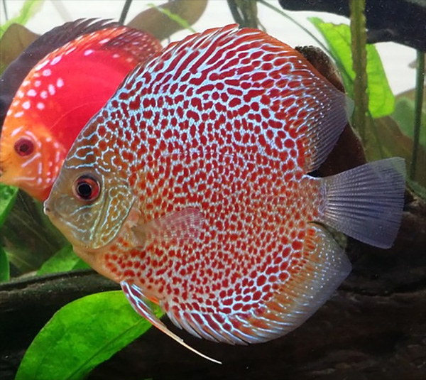 Discus are related to severums and like to be kept with dither fish