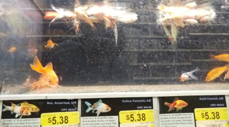 Sick and dead fish at a big box store. It can be difficult to find places to buy healthy fish.