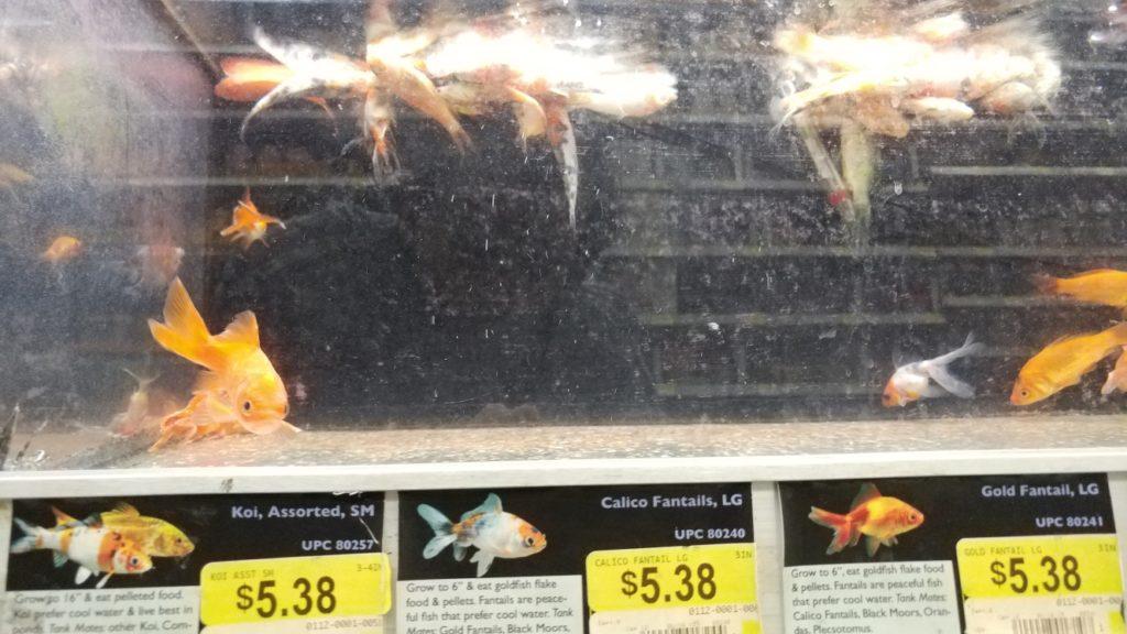 Sick and dead fish at a big box store.