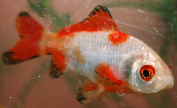 Red, white, and black goldfish. The black is in the process of fading and leaving red behind.