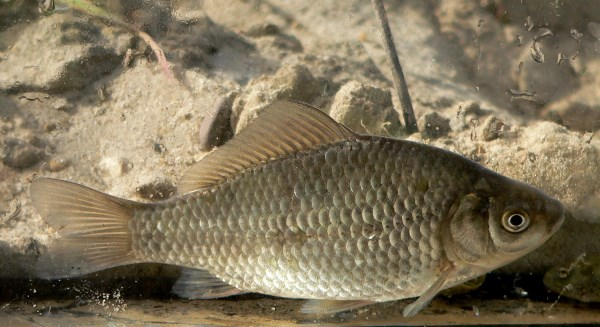 Prussian carp. Genetic tests have shown that this is the closest relative of the domestic goldfish.