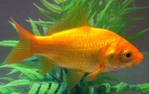 Common goldfish with metallic scales.