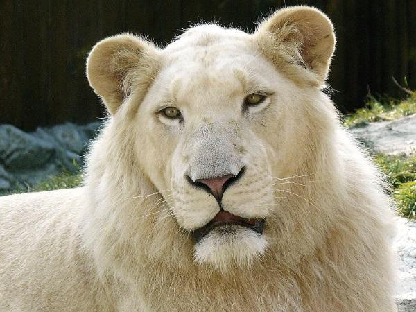Leucistic white lion