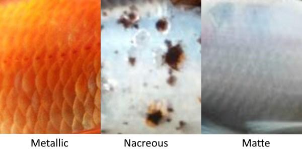 Goldfish scale types. Metallic, Nacreous, and Matte.