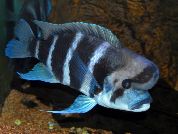 """Frontosa, sometimes known as the """"Humphead CIchlid"""""""