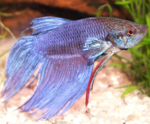 Long finned blue male betta fish