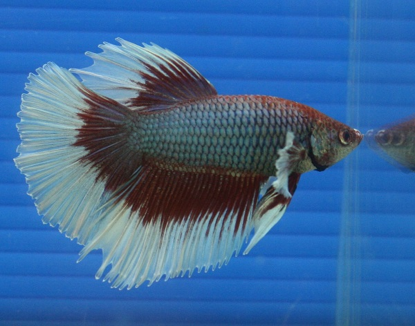 Half moon betta fish