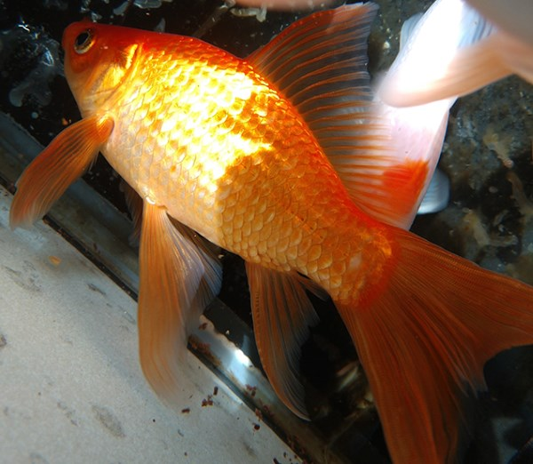 goldfish will let you know when there isn't enough oyxgen in the water by gulping at the surface