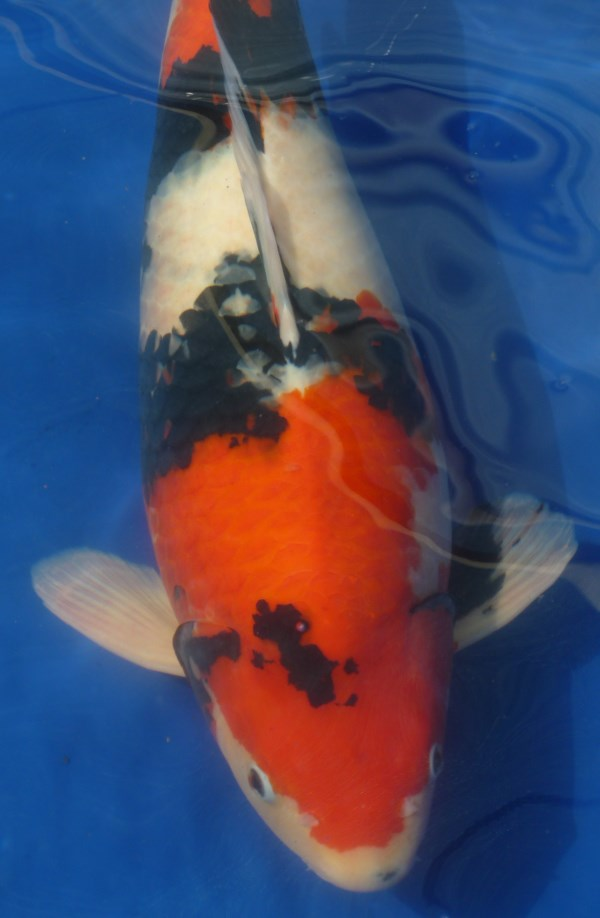 Showa koi with strong wrapping pattern