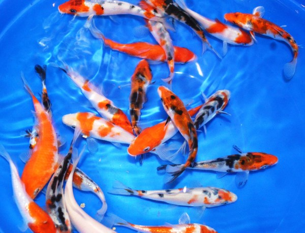 Not all baby koi grow up to look as good as their parents.