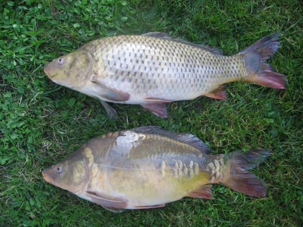 Versi skala ikan mas dan cermin umum di bawahnya (yaitu mutasi asli yang mengarah ke doitsu koi).