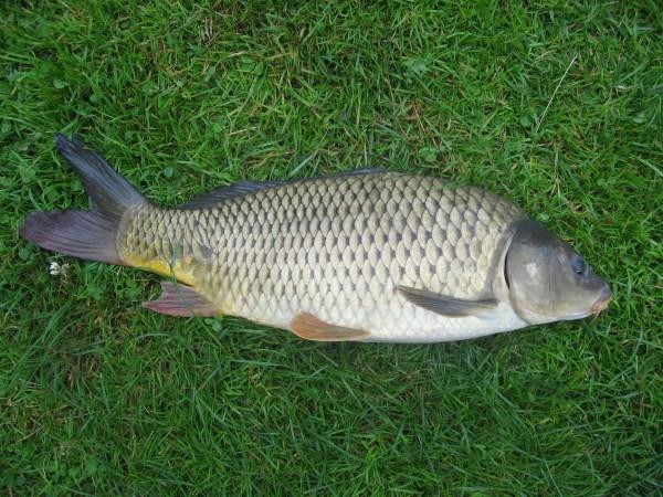 Ikan mas biasa