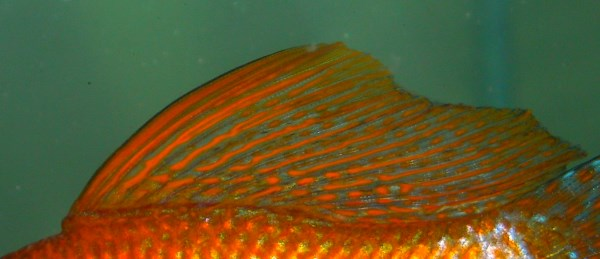 Male sailfin molly dorsal fin