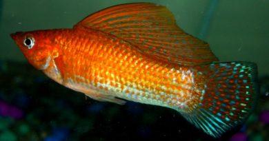 orange sailfin molly