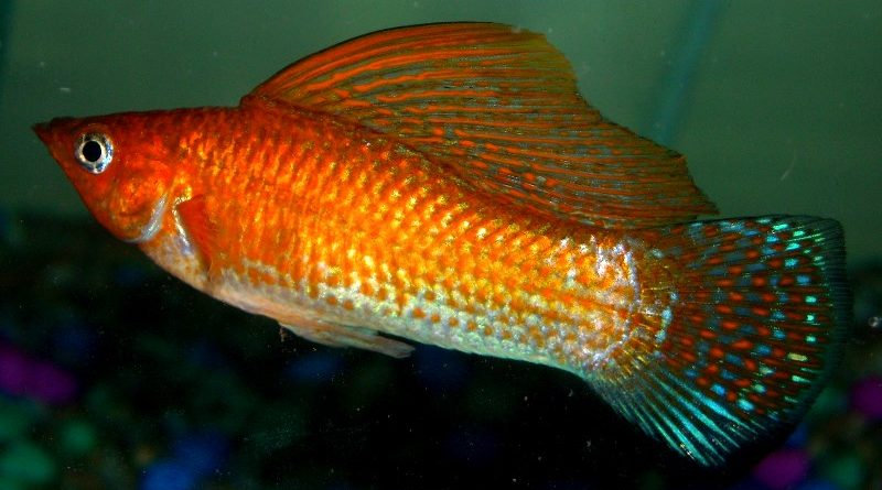 orange sailfin molly