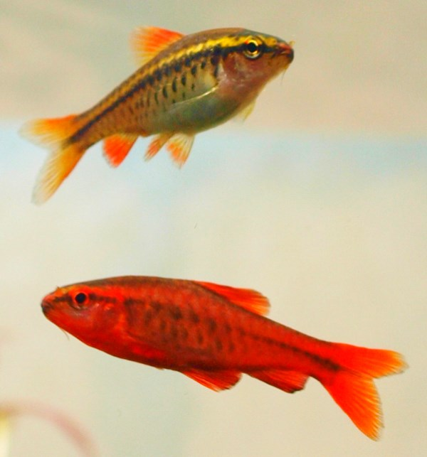 Male and female cherry barb