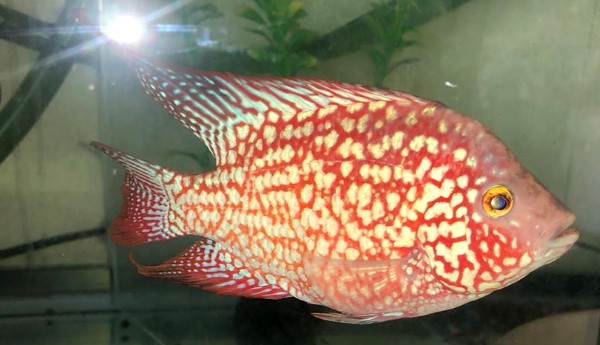 Red Texas Cichlids Are Not A Type Of Flowerhorn