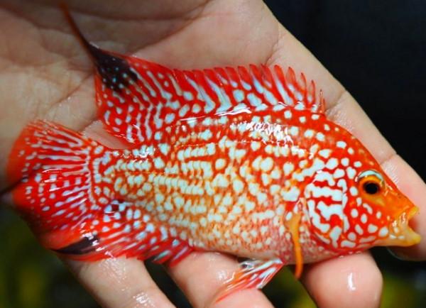 Red Texas Cichlid or flowerhorn