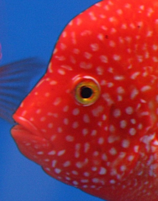 Red texas cichlid mouth