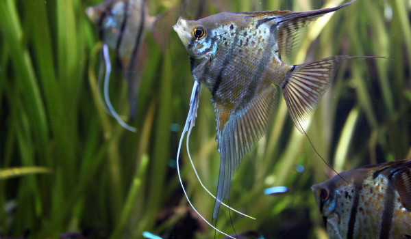 Angelfish are the quintessential community tank cichlid