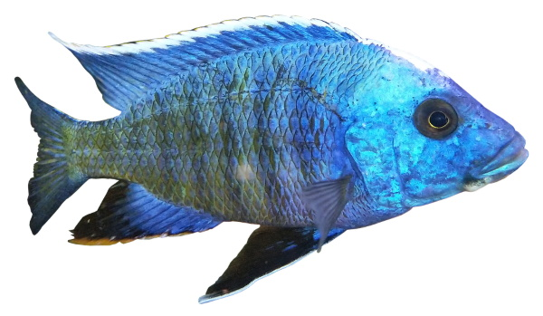 Maybe you want more blue in your aquarium light to bring out the color in your blue African cichlids.