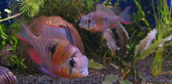 The Bolivian ram is my favorite choice for community aquarium cichlids