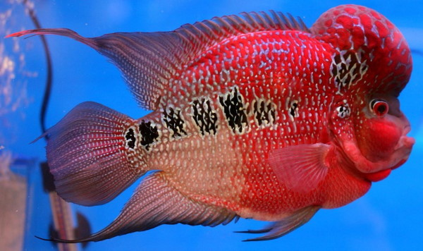 Awesome looking flowerhorn! An oscar just can't compete with a flowerhorn for color. If color was the only thing that mattered then flowerhorns would easily be the best wet pets.