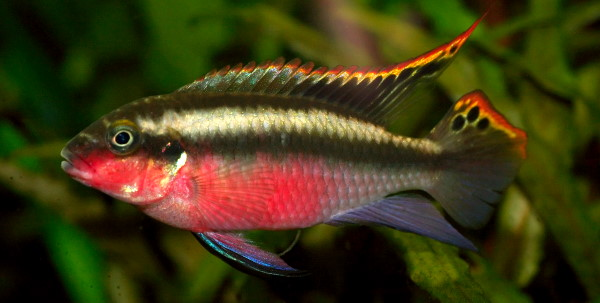 Kribs are good cichlids for community aquariums