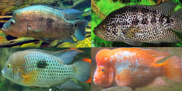 Other cichlids that make a good wet pet