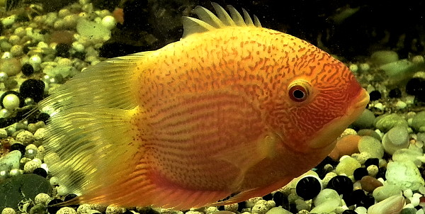 Severums are too big for most community aquariums