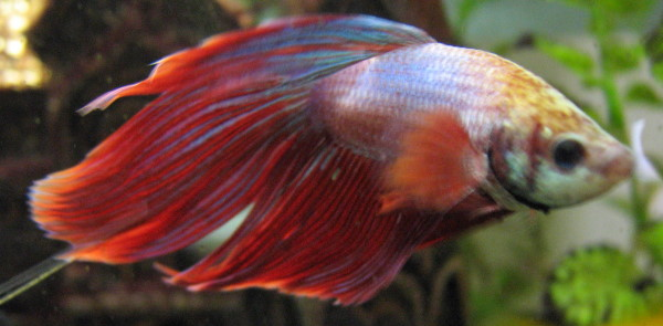 bettas can live in vases with the right care